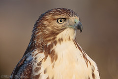 Juvenile Red-tailed Hawk Portrait (Matt F.) Tags: bird redtailedhawk hawk raptor
