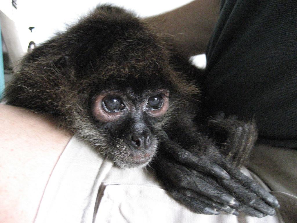 Cute Baby Spider Monkeys Little Cute Brown Baby Spider