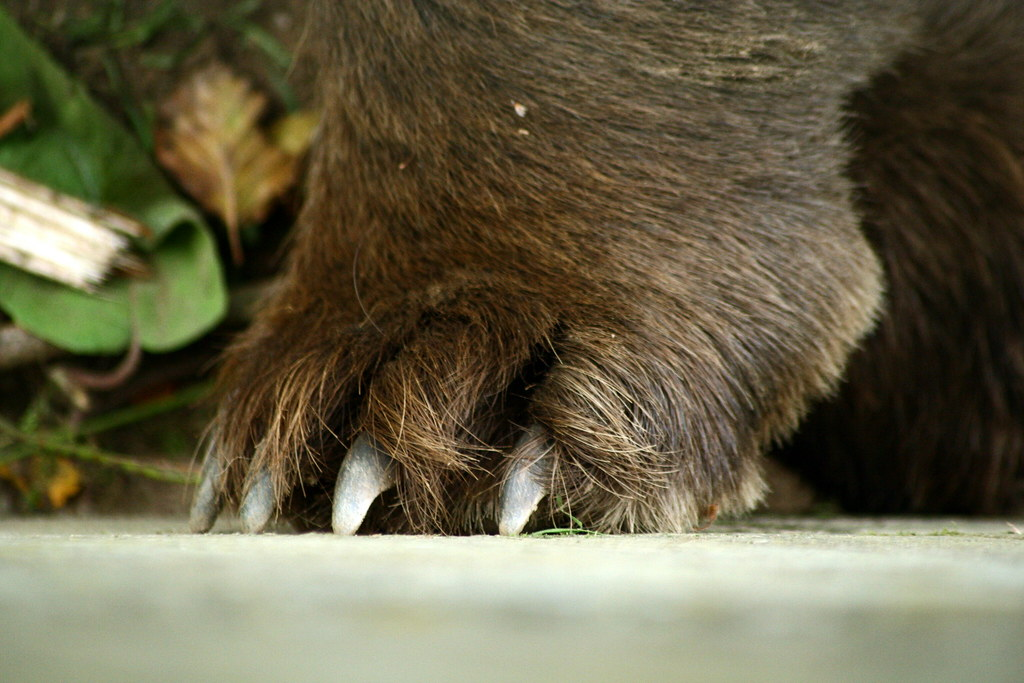 Paw of a bear