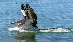 Wings up for the Glide In (Jocey K) Tags: pelicans water birds river wings labrador australia landing queensland splash surfersparadise goldcoast triptoqueenslandbrisbane