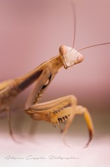 Hey ! (Allyson.Coppe) Tags: world macro cute nature canon mantis insect photography eos eyes natural little praying 600d