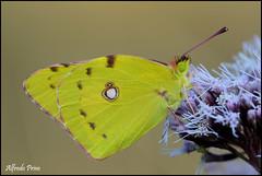 Colias crocea (alfvet) Tags: macro ngc butterflies natura npc insetti valsesia farfalle veterinarifotografi