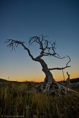 The Burmis Tree (Witty nickname) Tags: sunset pinetree dusk wideangle d800 burmis southernalberta limberpine 1424mm nikkor1424mmf28 nikond800 theburmistree