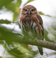 Northern Pygmy Owl (Sarbhloh/Harjeet) Tags: mexico monterrey chipinque glaucidiumgnoma lifer407