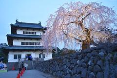 Hirosaki Cherry Blossom Festival (Iyhon Chiu) Tags: castle japan japanese spring aomori d750  cherryblossom  hirosaki        2015 hirosakipark   hirosakicity  aomoriprefecture