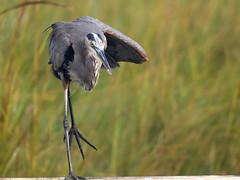 Great Blue Heron Stretching (rdacus) Tags: bird animal newjersey outdoor nj greatblueheron edwinbforsythenationalwildliferefuge forsythenwr forsythenationalwildliferefuge gallowaytownship brigantinewildliferefuge