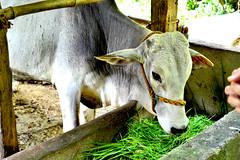 DSC_0014 (kenken.marilag) Tags: flower cow rice philippines farming nueva baka palay ecija lupao