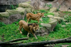 Afrikaanse leeuw - Panthera leo leo - African Lion (MrTDiddy) Tags: male female cat mammal zoo big kat feline leo african lion bigcat antwerp antwerpen zooantwerpen grote nestor leeuw panthera mannelijk vrouwelijk zoogdier afrikaanse grotekat maouli