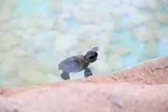 Projeto Tamar (caldasvictor) Tags: nature live natureza vida beleza filhote tartaruga bealtfull