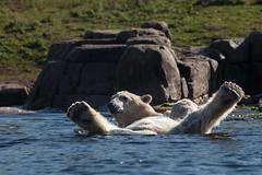 BLIJDORP20151001_©arievantilborg-9761 (Arie van Tilborg) Tags: blijdorp polarbear ijsbeer rotterdamzoo ijsberen arievantilborg