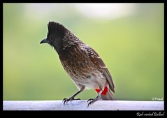 How's my haircut..;) (Mitesh S) Tags: red india birds canon rebel pashan pune xsi bulbul vented 450d 55250mm