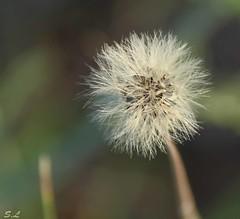 Dandelion (Sandrine_L) Tags: naturaleza nature plante dandelion