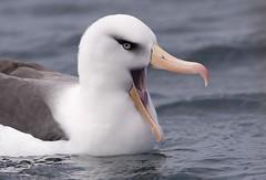 Campbell Albatross (Thalassarche impavida) (Gus McNab) Tags: campbell albatross thalassarche impavida