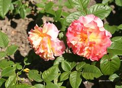 11-IMG_4334 (hemingwayfoto) Tags: rose flora pflanze gelb blume blte stadtpark verblht botanik blhen duftend edelrose rosengewchs augustalouise