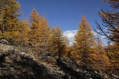 Larch forest in autumn (Bjrn S...) Tags: autumn forest schweiz switzerland suisse zermatt svizzera larch larice wallis valais lrche europeanlarch larixdecidua mlze europischelrche laricecomune mlzedeurope mlzecommun alerceeuropeo pindebrianon lrice
