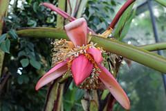 Musa mannii - BG Utrecht-042 (Ruud de Block) Tags: utrecht tuin musa musaceae botanische musamannii utrechtbotanicalgarden