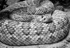 IMG_6564 (Mat_B) Tags: white lake black nature animal forest photography illinois pattern natural skin reptile snake wildlife center scales coil discovery captivity rattle