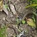 Водяной уж / Natrix tesselata / Dice snake / Сива водна змия / Würfelnatter