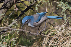 IMG_8256 Western Scrub Jay (lois manowitz) Tags: arizona birds sedona jays
