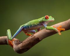 On the move (Agalychnis callidryas) Explored (susie2778) Tags: studio olympus frog captive agalychniscallidryas 60mmmacrof28 captivelight omdem5mii