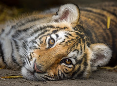 Bengal Tiger Cub (Jasper Gielen) Tags: autumn portrait cute cat automne zoo cub nikon tiger herbst herfst portrt tierpark portret tijger tigre hst dierentuin 80400mm dierenpark bengaltiger olmen felidae knigstiger welp olmensezoo pantheratigristigris bengaalsetijger royalbengaltiger tigredubengale d5300 indischertiger tijgerwelpjes