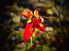 autumn leaves at their finest (krøllx) Tags: autumn light red plant nature colors leaves norway season seasons trondheim grilstad 1511070166