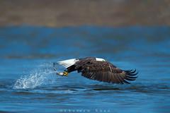 Eagle eye (Khurram Khan...) Tags: ilovenature nikon wildlife baldeagle nikkor wildlifephotography ilovewildlife iamnikon khurramk khurramkhan