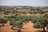 West Bank Olive Farm