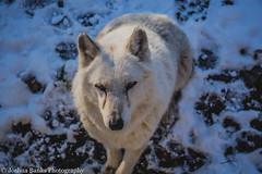 Timber Wolf (Joshua Banks Photography) Tags: wisconsin nikon wolf wolves baraboo timberwolves timberwolf saukcounty saukcountywi baraboowi wisconsinwolves d5200 wisconsinbackroads wisconsinphotographers joshuabanks nikond5200 joshuabanksphotography joshuabanks2015 beautifulwolves