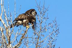 Stretching (begineerphotos) Tags: calgary bird eagle baldeagle alberta birdofprey immatureeagle