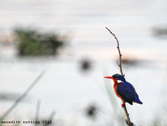 Malachite Kingfisher (meredith_nutting) Tags: africa rwanda kingfisher eastafrica malachitekingfisher easternafrica