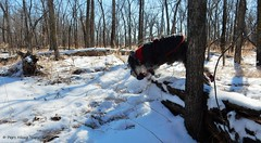 Jump It! (Pep's Hiking Team) Tags: dog snow nikon schnauzer traildog wildernessdogs adventuresniffer