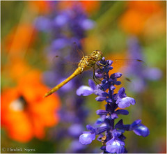 Some Colors (Hindrik S) Tags: blue summer orange flower color nature garden insect 50mm colorful sony natuur creation 1750 tuin tamron farbe libelle garten f28 kleur libel juffer natuer schpfung schepping dragonflie tamron1750 sonyalpha tamronspaf1750mmf28xrdiiildasphericalif tn skepping sonyphotographing