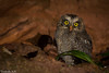 Megascops choliba (azambolli) Tags: ave bird animal nature natureza brasil coruja owl