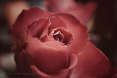 Quick low light rose shot (Jasrmcf) Tags: fuji fujinon fujixt10 fujimacro macro macrotube rose detail depthoffield dof smooth bokeh bokehlicious bokehgraph pentacon 30mm flowers flower ngc beautiful blur nature garden red pink petals