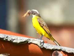 Bem-te-vizinho (Myiozetetes similis) - Social Flycatcher (Roberto Harrop) Tags: bemtevizinho myiozetetessimilis socialflycatcher bemtevi aves birds pássaros aldeia robertoharrop paudalho
