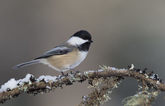 Black-capped Chickadee MI December _E1U6439 Dec 2016 (www.sabrewingtours.com) Tags: winter snow michigan up upper peninsula bird feeder northern brian zwiebel sabrewing nature tours photo tour snt birding bz animal outdoor blackcapped chickadee