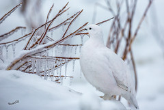 Eats in a freezer (MatsOnni) Tags: riekko lagopuslagopus willowptarmigan winter ice cold ohtakari kokkola finland