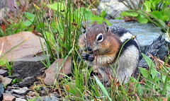 DSC_0692 (rachidH) Tags: squirrel écureuil rodents goldenmantledgroundsquirrel spermophiluslateralis callospermophiluslateralis spermophileàmanteaudoré écureuilterrestreàmanteaudoré spermophileàmanterayée logan pass loganpass westglaciernationalpark montana rockymountains mt rachidh nature