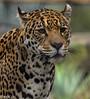 """Jaguar """"Rica"""" Artis Amsterdam (amsterdameric) Tags: dierentuin jaguarartis zoojaguar zooanimal jaguaranimal jaguarzoo zoo animals artis jaguar bigcats bigcatszoo zooamsterdam artiszoo"""