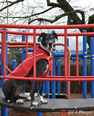 5.52.2017 Dreary Winter Days (kmmorgan1977) Tags: 52weeksfordogs 52wfd kkzsapachevegasrose greatdane oregon winter 2017 ruffwear park playground poser dog dogs perfectdog rain