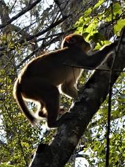 Ocala, FL, Silver Springs State Park, Backlit Wild Rhesus Macaque Monkey (Mary Warren (8.7+ Million Views)) Tags: ocalafl silverspringsstatepark nature fauna animal mammal monkey rhesusmacaque