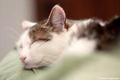 La sieste - Mermoz (2011) (Robert Claessens) Tags: robert bob claessens chat cat kat peaceful quiet paix douceur