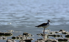 Perrito (Bryan_Andres) Tags: pajaro ave bird perrito laguna aculeo paine chile de