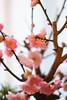 梅花開花 (HRS_Kenzy) Tags: 梅 盆栽