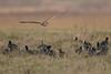 R17_7343 (ronald groenendijk) Tags: cronaldgroenendijk 2017 asioflammeus rgflickrrg animal bird birds birdsofprey groenendijk nature natuur natuurfotografie outdoor owl owls ronaldgroenendijk roofvogels shortearedowl velduil vogel wildlife