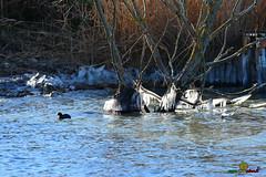 A-LUR_5607 (ornessina) Tags: trasimeno umbria byrd uccelli aironi cormorani toscana va orcia