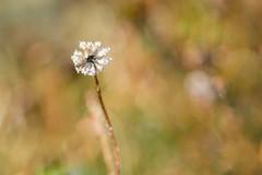 glacée (christophe.laigle) Tags: star étoile frosty fleur macro christophelaigle xf60mm xpro2 flower fuji givre daisy hiver glace frost pâquerette theworldupclose