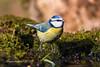 herrerillo (minutuuno) Tags: afac ave pajaro paxaru animal salvaje naturaleza minutuuno poladelaviana laviana asturias asturies