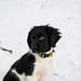 Olda, 11 weeks old. (MJ Klaver) Tags: dog stabijhoun friesestabij snow winter puppy canonef100mmf28lisusmmacro 100mm explored explore
